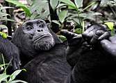 Gorilles et lac Kivu