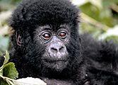 Primates, Gorilles et Lac Kivu, version charme
