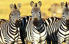 100% safari Masai Mara, Nakuru, Amboseli